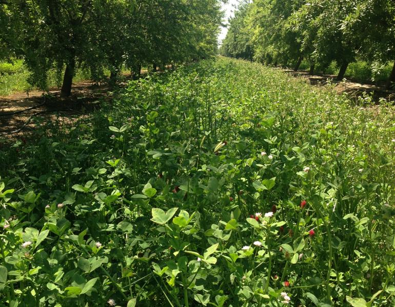 A thick bed of bright green clover blooms with red and white flowers amid rows of almond trees.