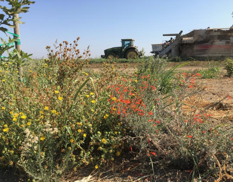 A tractor and some other farm equipment in the background are dwarfed by blooming plants in the foreground of this photo of an arid agricultural area.