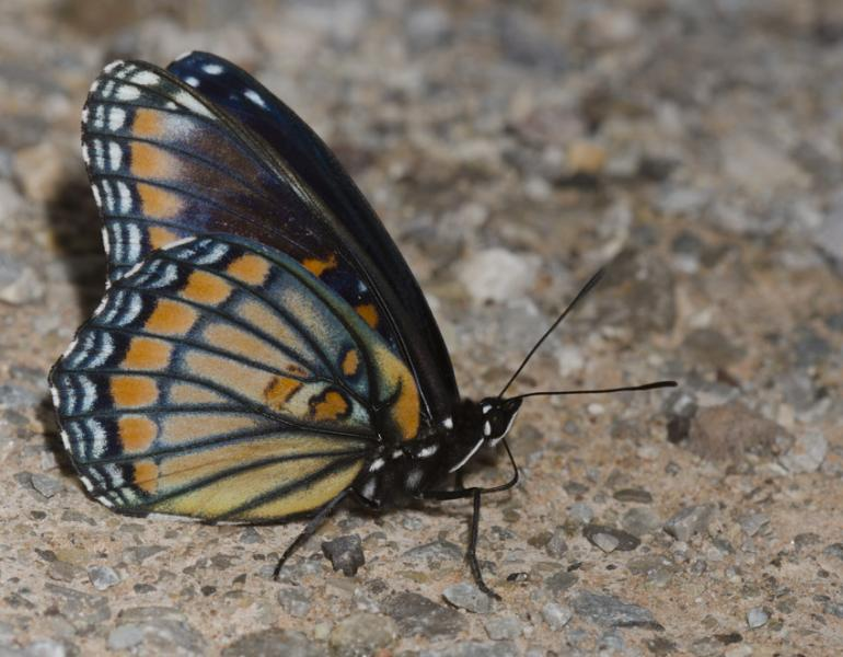 A butterfly with orange and blue features sits with its wings closed on rocky dirt.