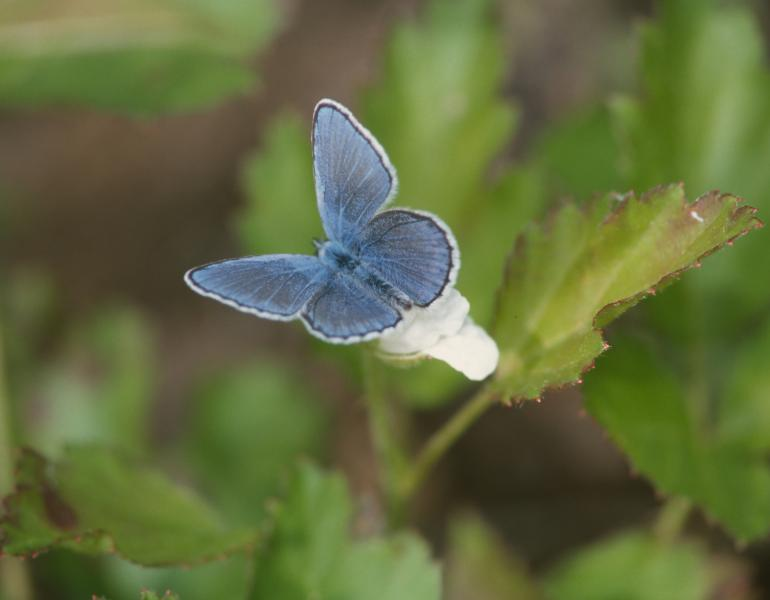 A blue butterfly stands out against a backdrop of green foliage.