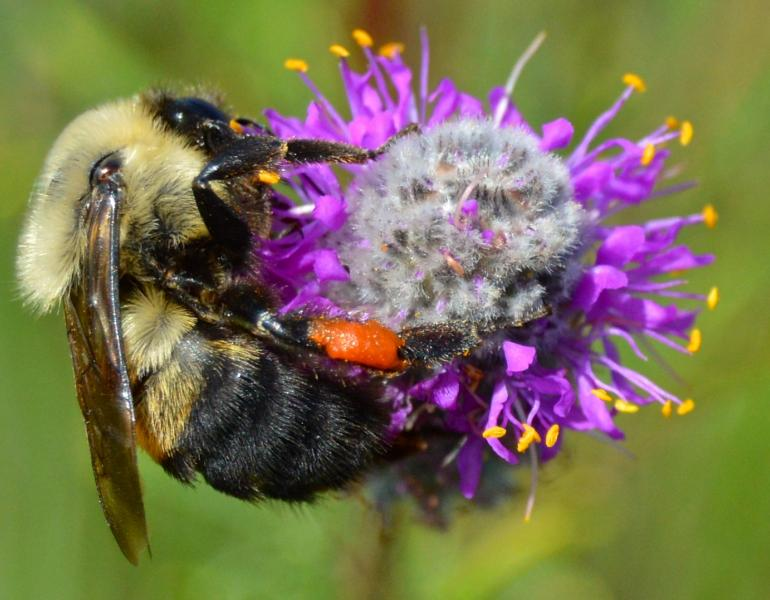 A bumble bee holds tightly to a cluster of purple flowers.
