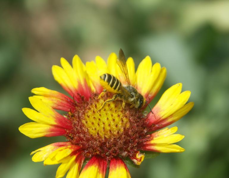 Leafcutter bee on a red and yellow blanketflower.