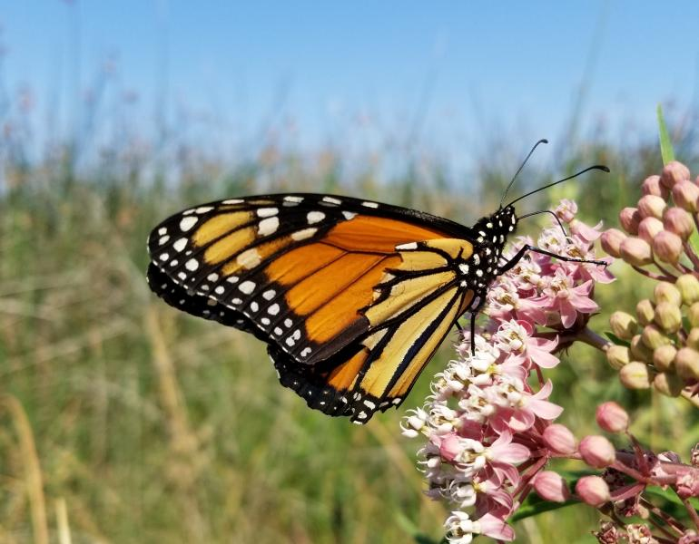 A bright orange monarch with a torn wing perches on some pink milkweed blossoms in a grassy, dry landscape.