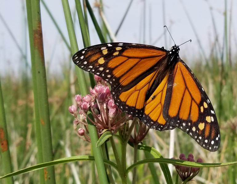With wings spread, a monarch butterfly basks on a milkweed plant among the stems of a tulle marsh.