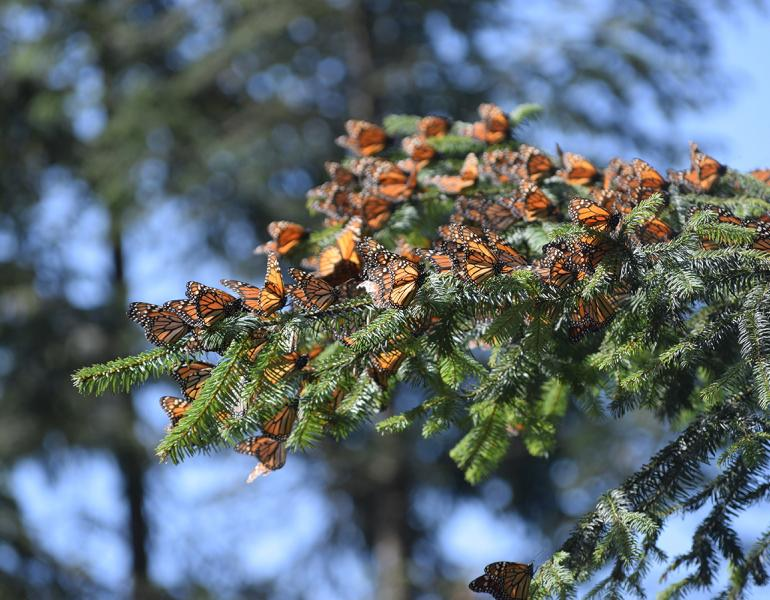 Monarchs cluster on an evergreen tree branch.