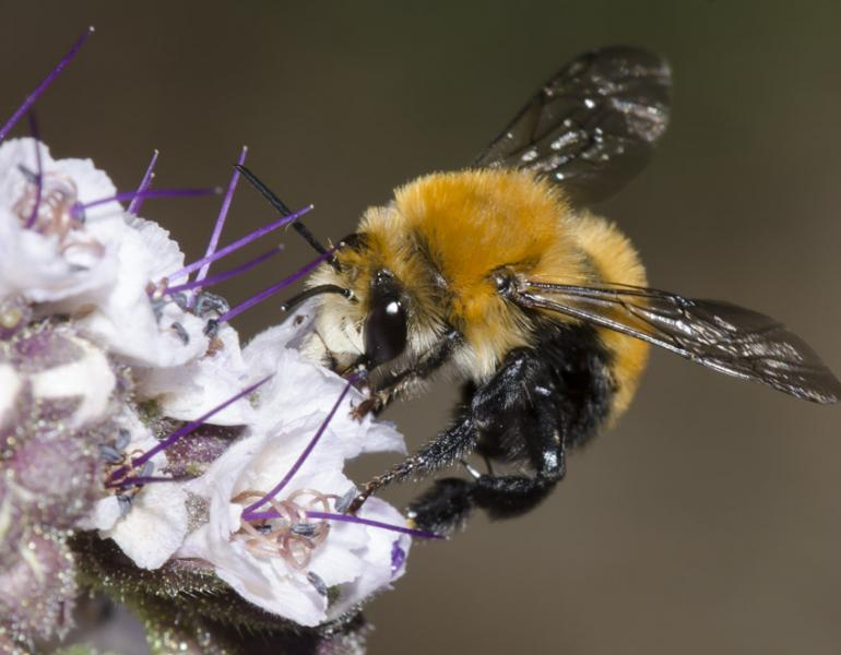 A fuzzy, round-bodied, orange bee perches on a pale purple flower.