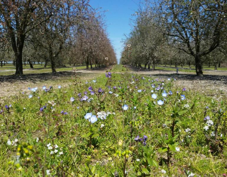 """Blooming pollinator habitat between rows of almond orchards in California"""