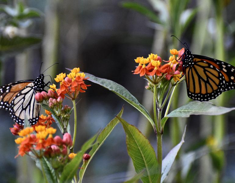 Two orange-and-black monarch butterflies drink nectar on yellow-and-red colored flowers. The flowers are tropical milkweed, a non-native plant that should not be grown to help monarchs.