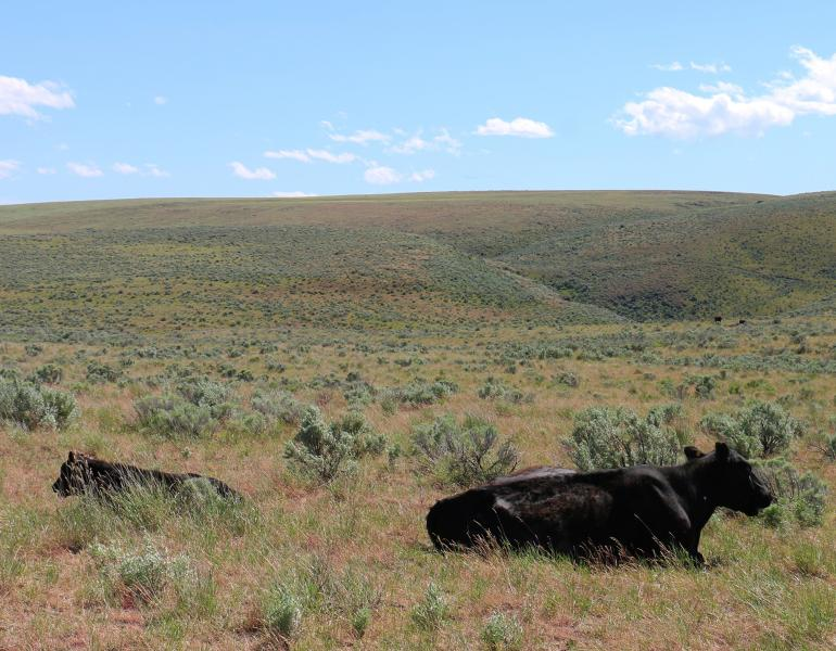 A cow and her calf, both black, lie in the middle of sagebrush and grasses, with the rangeland stretching away to the horizon.