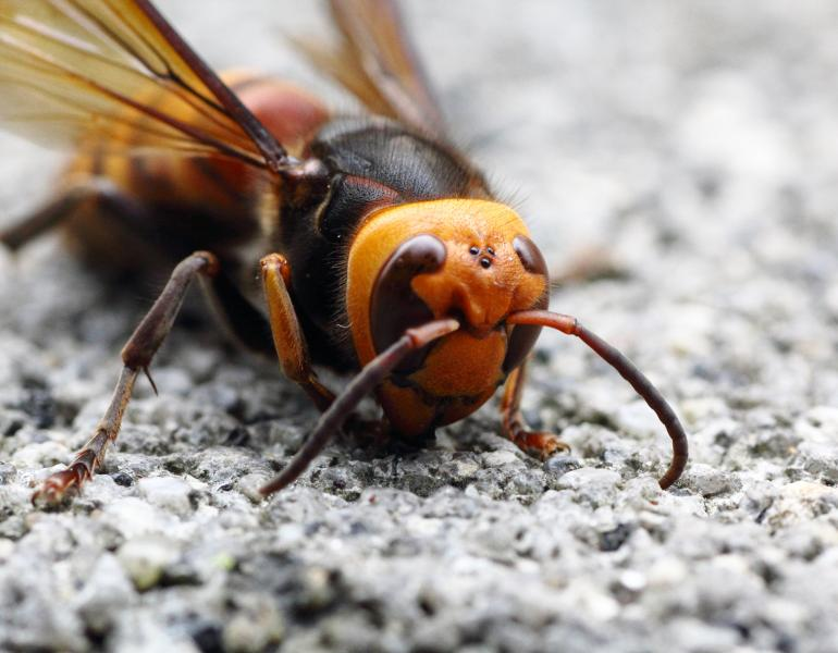 the bright orange face of giant hornets is a distinctive feature