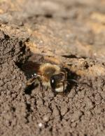 A fuzzy bee with big, shiny eyes peers out of a hole in bare dirt.
