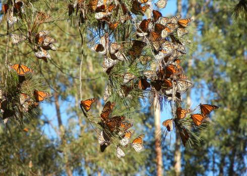 A cluster of several dozen orange-and-black monarch butterflies rest on the branches of a pine tree